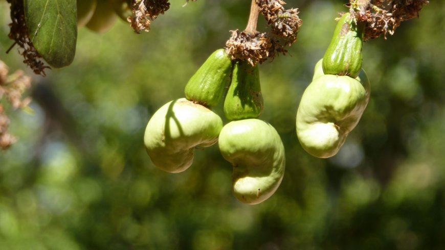 La cosecha de las nueces